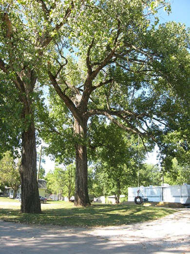 Cottonwood trees and tire swing