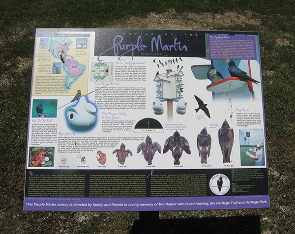 purple martin information