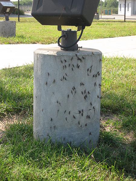 mayflies