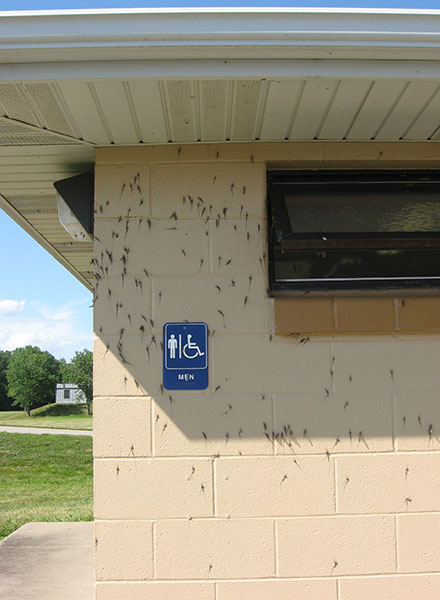 mayflies on building