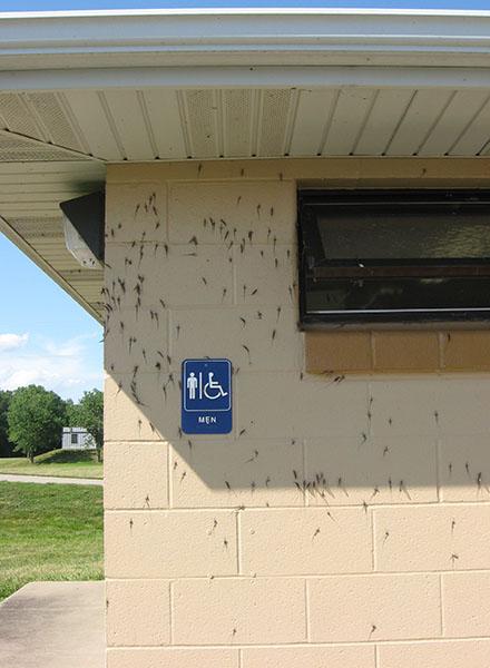 mayflies on building